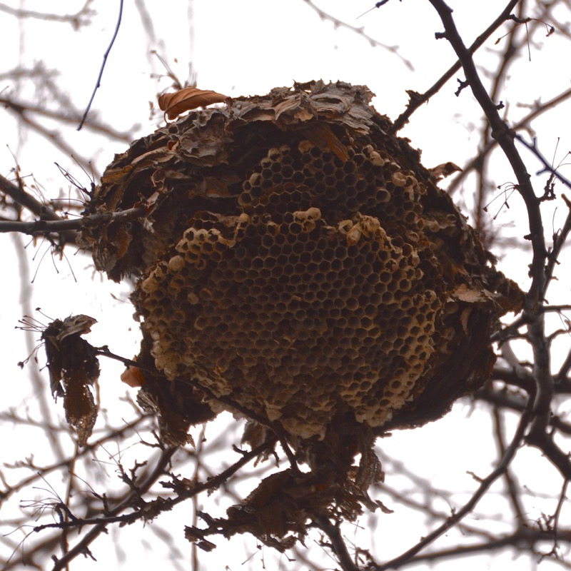 160125-hornets_nest-belanger_city_park-river_rouge-DSC_0537