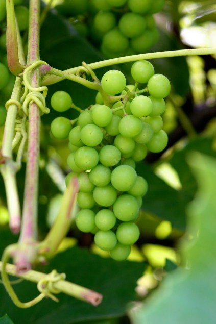 ironwood grapes