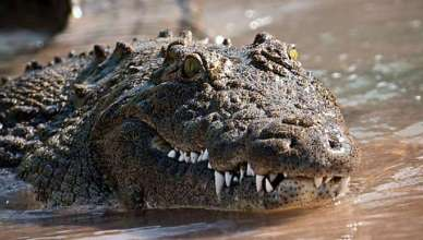 crocodile-pic1-jpg