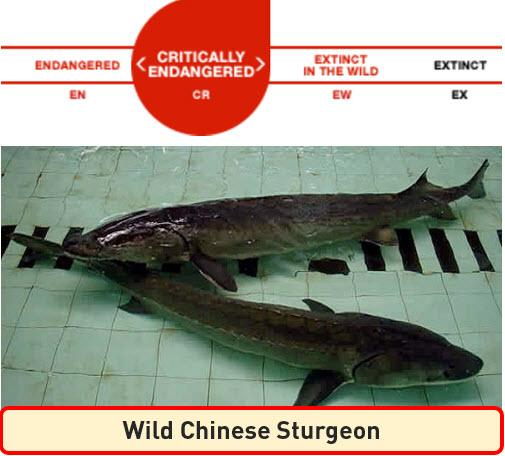 IUCN Wild Chinese Sturgeon
