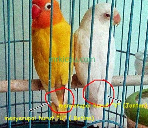 perbedaan lovebird jantan dan betina saat birahi