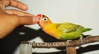 Cara Menjinakan Lovebird Giras