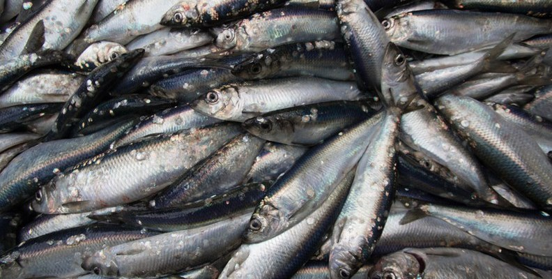 herring-reduction-blog-header