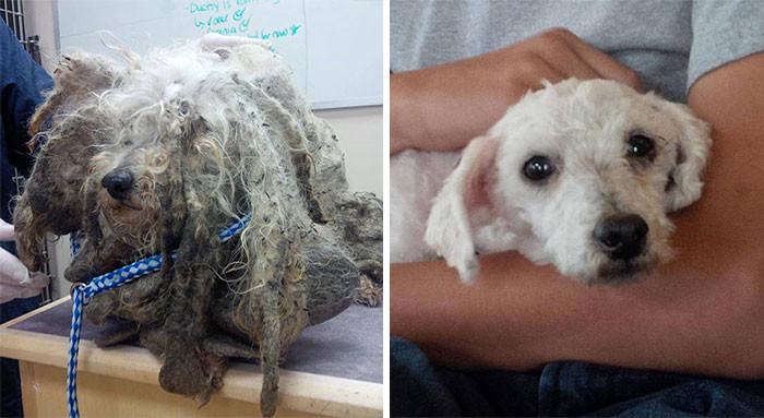 Эту найденную на улице собаку за жуткий вид назвали Шреком. Когда ее избавили от спутанной шерсти и грязи, она оказалась прелестной мальтийской болонкой Счастливый конец, собаки, спасение