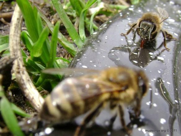 Honey bees drinking (May 8, 2011).