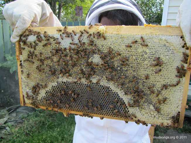 Frame of honey from one of our nucs. (August 28, 2011.)
