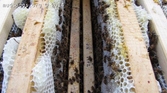 Thick frames of honey coming in at about 3kg each --- about six pounds.  (July 22, 2014.)