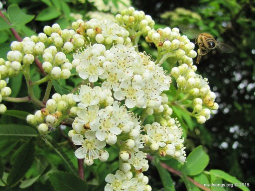 Honey bee landing on Dogberry blossoms in Flatrock, NL (June 27, 2015).