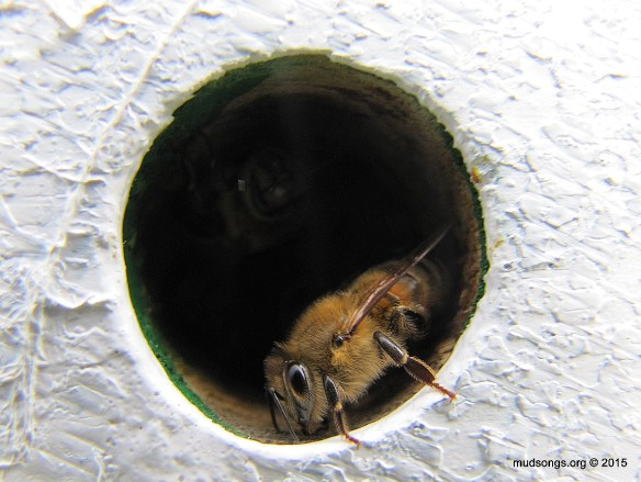 Guard bee in a honey super.