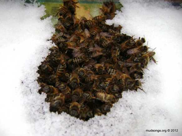 Bees chowing down on dry sugar. (Jan. 08, 2012.)