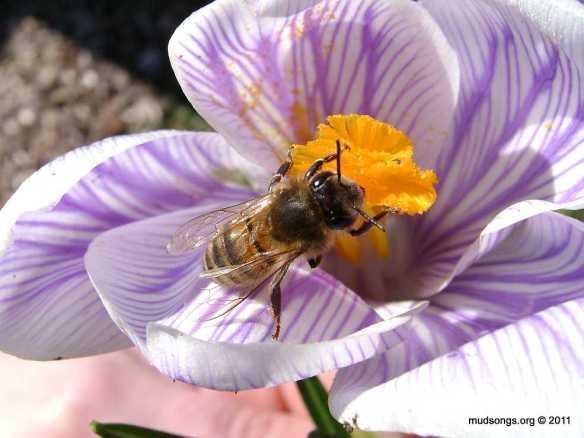 Honey bee on crocus  (April, 13, 2011).
