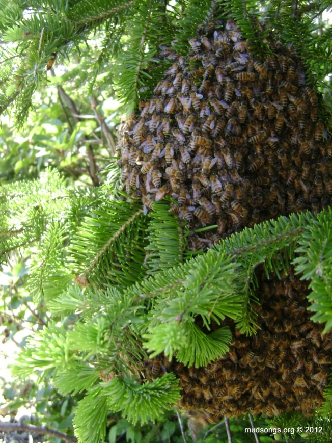 A swarm of bees hanging off a tree branch. (June 17, 2012.)