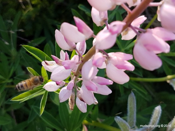 Out of focus honey bee on Lupins. (July 16, 2016.)
