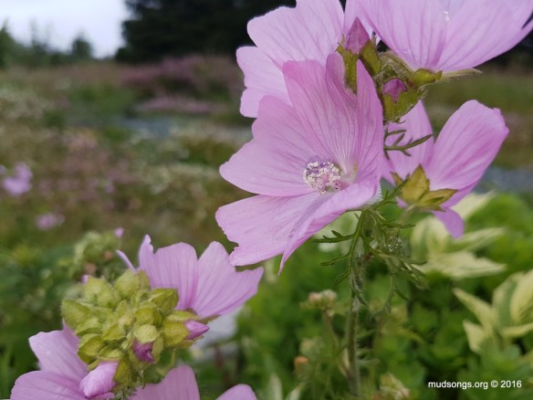 Malva Moschata (July 25, 2016.)