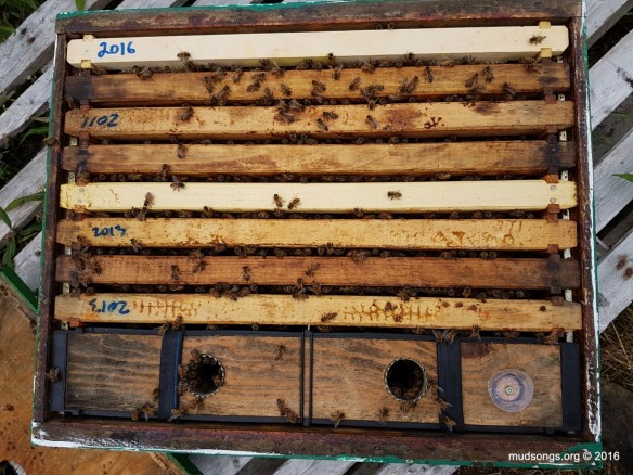 Nuc colony on Day 11. 6 frames of drawn comb. 2 frames that were more or less bare foundation. All the frames filling with bees. (July 28, 2016.)