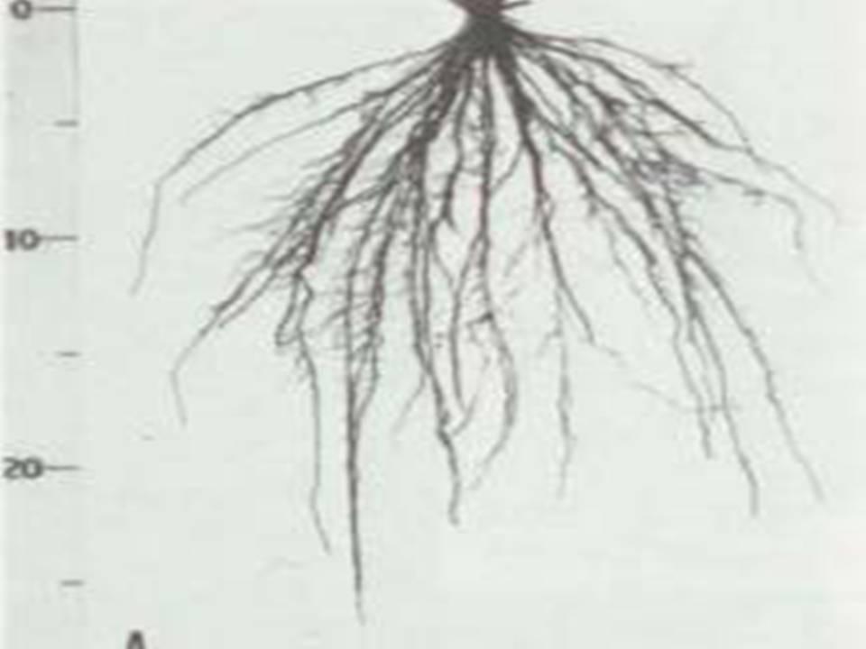 Gambar Pertumbuhan Tanaman Mycosphaerella Wikipedia The Free Encyclopedia Gambar Pertumbuhan Akar Padi