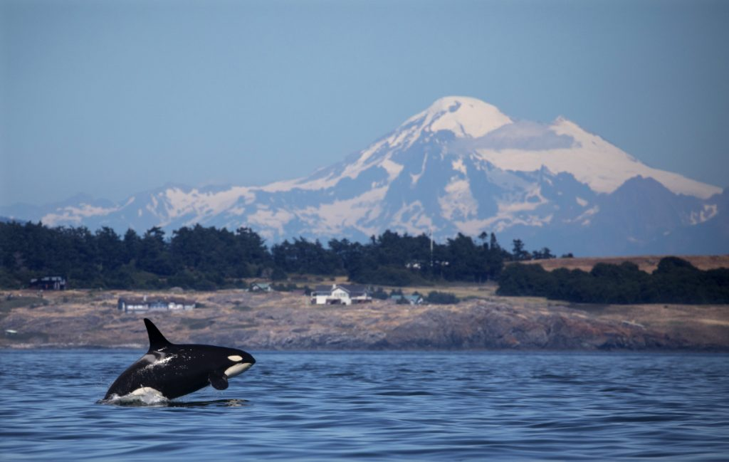 Living Haro Orcas Thrive In A Land To The North - Portland Press Herald