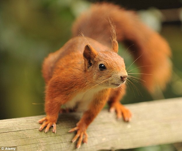 Super Cute Little Baby Wallpapers Long Live The Red Squirrel Mundabor S Blog