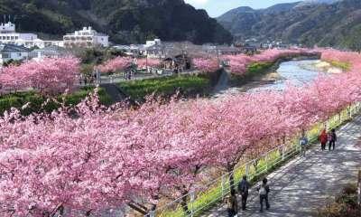 Cerejeiras vista durante o dia às margens do rio Kawazu (Foto: Divulgação/Kawazu Onsen)
