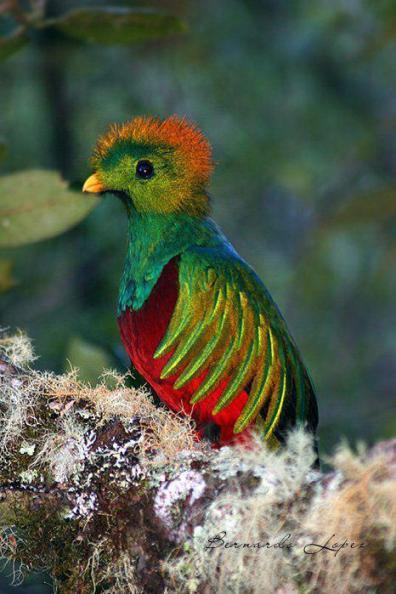 El Quetzal, ave nacional de Guatemala - foto por Bernardo Lopez