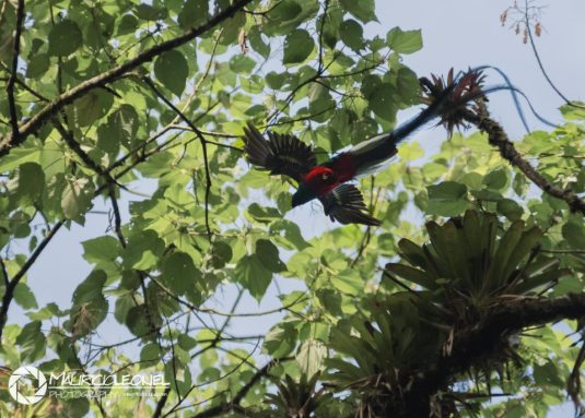 El Quetzal, ave nacional - foto por Mauricio Elgueta
