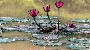 Flores en Guatemala, Nenúfares, en Auto Safari Chapín, Santa Rosa - foto por Maynor Marino Mijangos