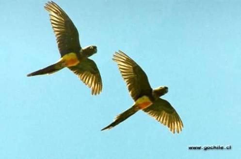 Loros en pleno vuelo - foto por gochile.cl