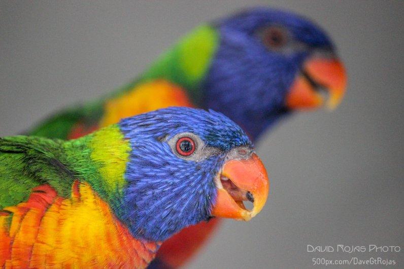 Periquitas en el zoologico LA Aurora - foto por David Rojas