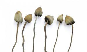 Cogumelos alucinógenos Liberty Caps, colhidos perto de Pulborough, West Sussex, no sudeste da Inglaterra. A psilocibina, o ingrediente psicoativo nestes e outros cogumelos 'mágicos', tem potencial terapêutico. Fotografia: Martin Bond / Alamy