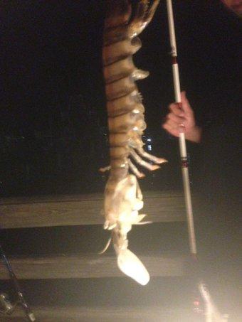Wvjlv8 Un pescador captura un gigantesco camarón en Florida