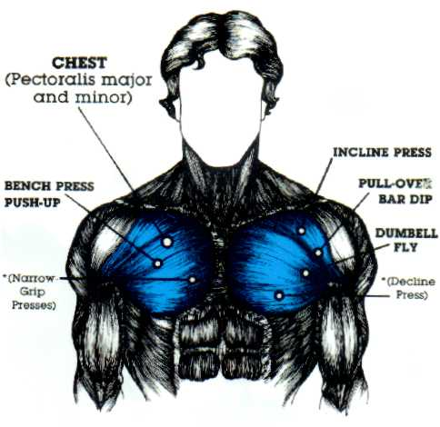 chest muscle diagram