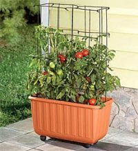 How to Grow Patio Tomatoes! - Must Have Mom