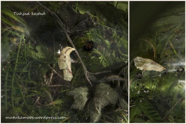 liblika kasvatamine 4
