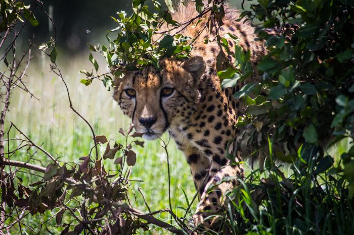 Ol_Pejeta_Cheetah-1