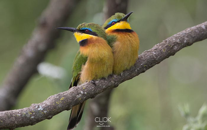 African Screens 04 – Kajiado Bee Eaters