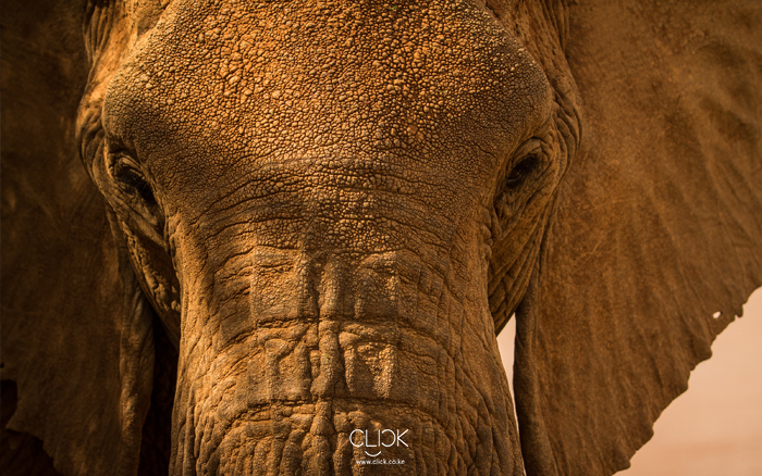 African Screens 32 – Samburu Elephant