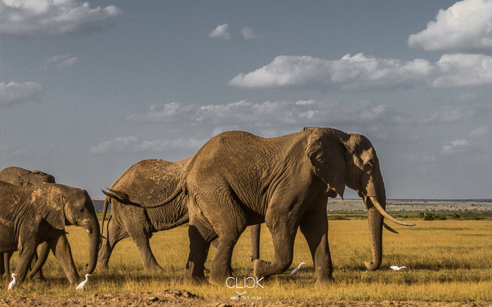 African Screens 47 – Amboseli Elephant Safari