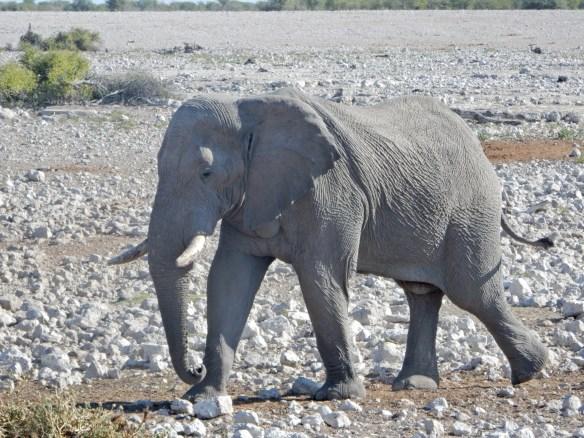 DSCN1062 Safari dans le parc dEtosha