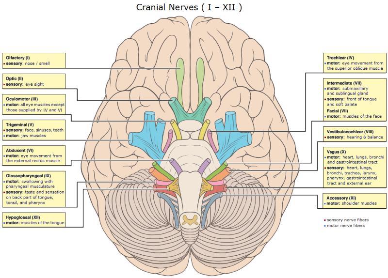 The Cranial Nerves and Brainstem