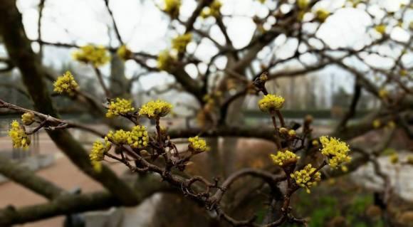PHOTO: Buds opening on Cornelian cherry (Cornus mas).
