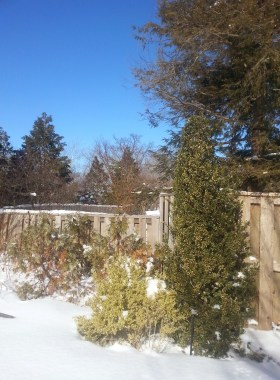 PHOTO: Boxwood and hemlock trees against a fence in winter.