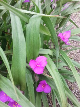 PHOTO: Spiderwort in bloom.