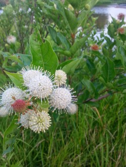 PHOTO: Closeup of buttonbush in bloom.