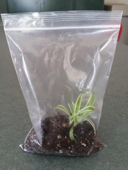 PHOTO: Baggie terrarium.