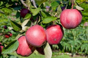 PHOTO: Autumn brings apples to fruition!