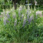 PHOTO: Baptisia 'Lunar Eclipse'.