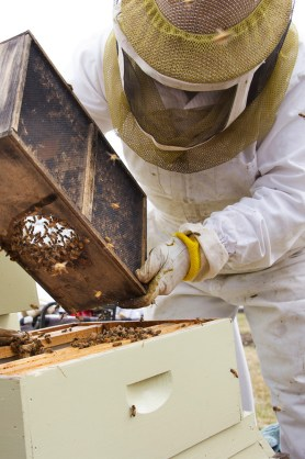 PHOTO: Beekeeper Ann Stevens adds bees to a hive this past spring.