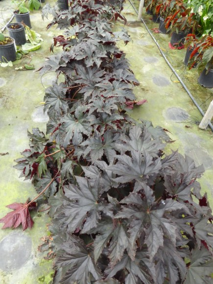 PHOTO: Begonia 'Bashful Bandit'.