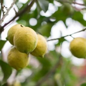 PHOTO: Ponderosa lemon (Citrus x ponderosa).