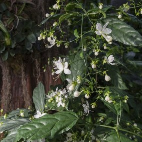 PHOTO: Nodding clerodendrum (Clerodendrum nutans).